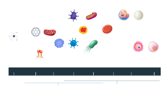 Sizes of microorganisms